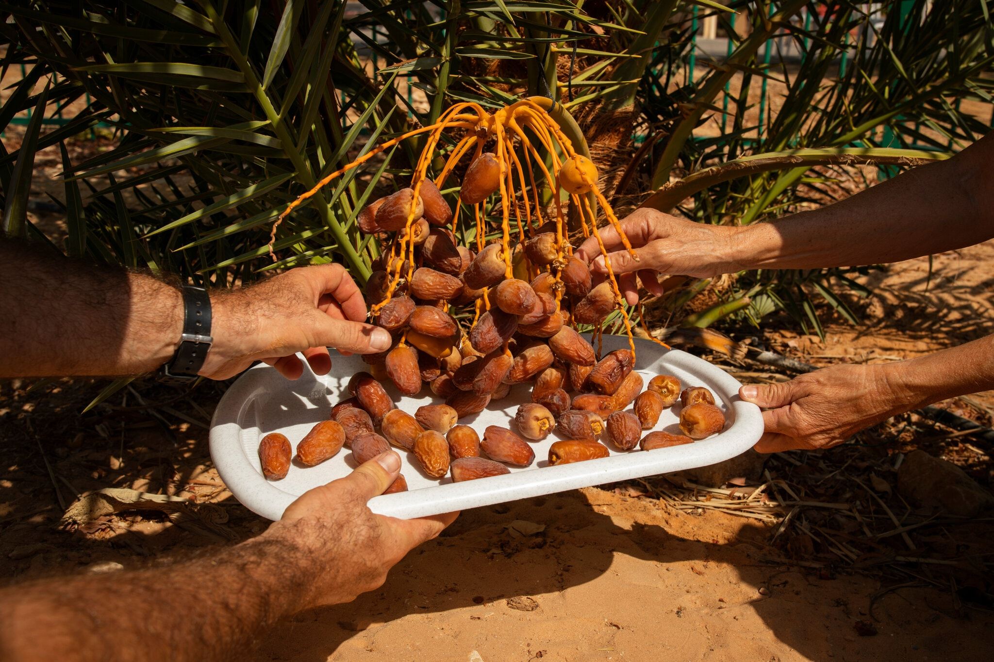Aided by Modern Ingenuity, a Taste of Ancient Judean Dates